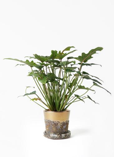 観葉植物 クッカバラ 4号 ハレー ブロンズ 付き