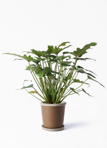 観葉植物 クッカバラ 4号 キャメルポット ブラウン 付き