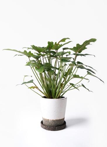 観葉植物 クッカバラ 4号 ヴィフポット ホワイト 付き