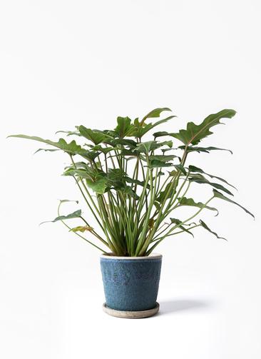 観葉植物 クッカバラ 4号 フェイバーポット ブルー 付き