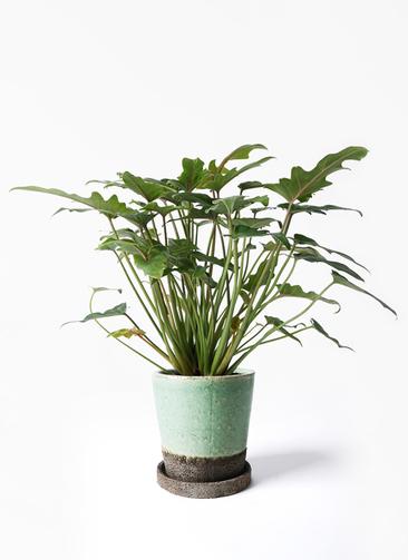 観葉植物 クッカバラ 4号 ヴィフポット ミントグリーン 付き