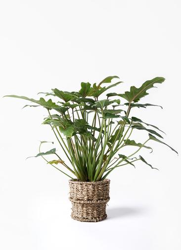 観葉植物 クッカバラ 4号 バスケット 付き