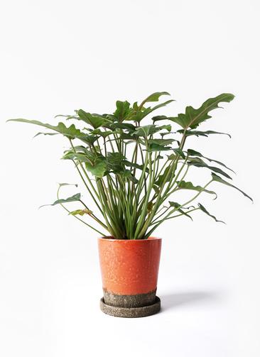 観葉植物 クッカバラ 4号 ヴィフポット オレンジ 付き