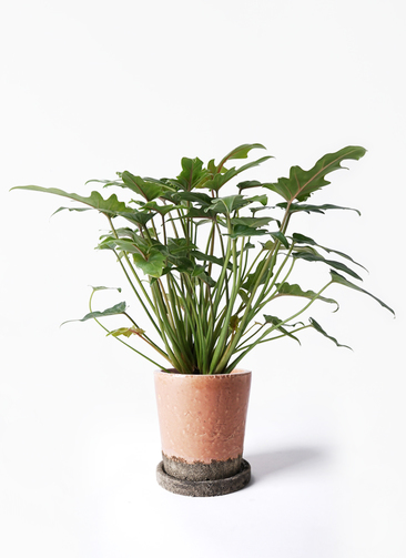 観葉植物 クッカバラ 4号 ヴィフポット サーモンピンク 付き