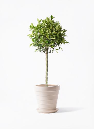 観葉植物 フィカス ベンジャミン 8号 ゴールデンスポット サバトリア 白 付き