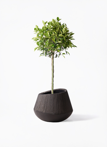 観葉植物 フィカス ベンジャミン 8号 ゴールデンスポット エディラウンド 黒 付き