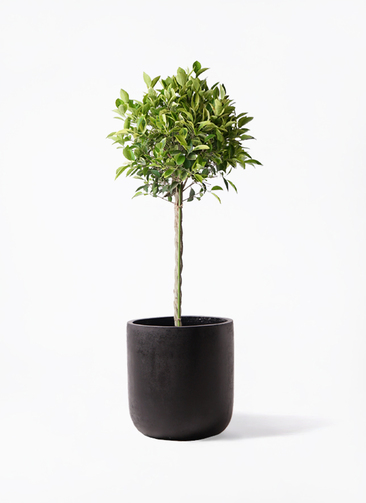 観葉植物 フィカス ベンジャミン 8号 ゴールデンスポット エルバ 黒 付き