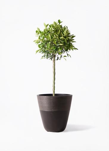観葉植物 フィカス ベンジャミン 8号 ゴールデンスポット ジュピター 黒 付き