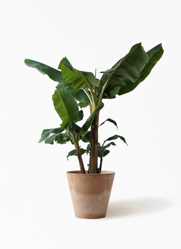 観葉植物 三尺バナナ 10号 アートストーン ラウンド ベージュ 付き