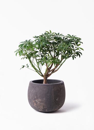 観葉植物 シェフレラ コンパクタ 5号 フリットバルーンアンティークブラック 付き
