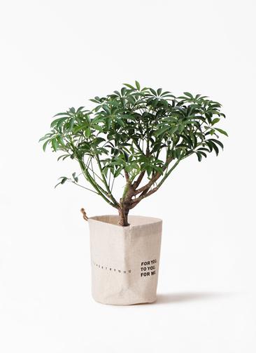 観葉植物 シェフレラ コンパクタ 5号 ラップサック 付き