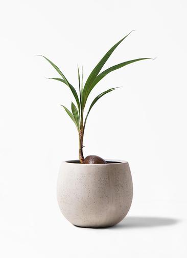 観葉植物 ココヤシ 7号 テラニアス ローバルーン アンティークホワイト 付き