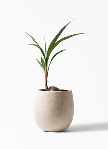 観葉植物 ココヤシ 7号 テラニアス バルーン アンティークホワイト 付き
