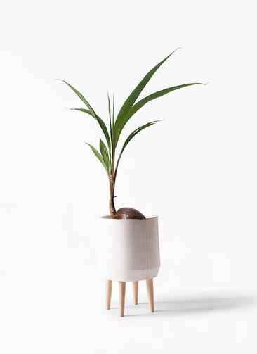観葉植物 ココヤシ 7号 ファイバークレイ white 付き