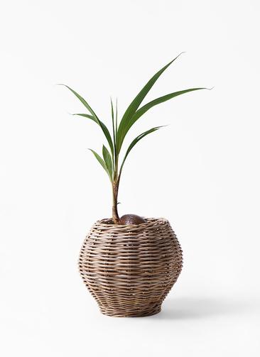 観葉植物 ココヤシ 7号 グレイラタン 付き