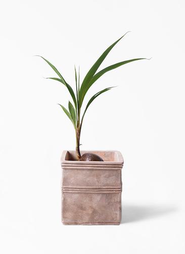 観葉植物 ココヤシ 7号 テラアストラ カペラキュビ 赤茶色 付き