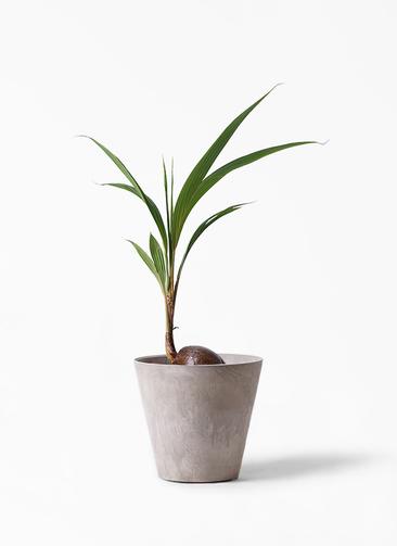 観葉植物 ココヤシ 7号 アートストーン ラウンド グレー 付き