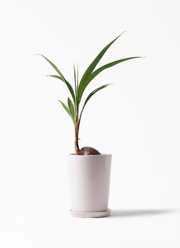 観葉植物 ココヤシ 7号 LO ラウンド 付き