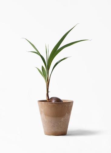 観葉植物 ココヤシ 7号 アートストーン ラウンド ベージュ 付き
