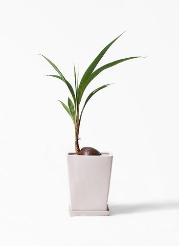 観葉植物 ココヤシ 7号 LO スクエア 付き