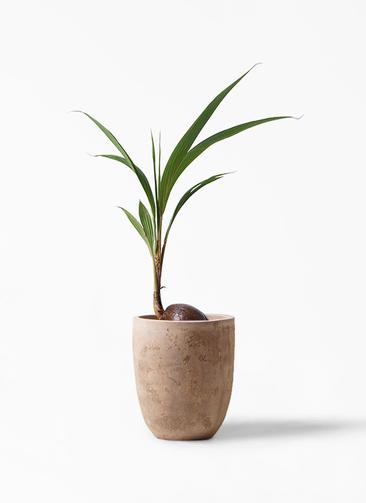 観葉植物 ココヤシ 7号 ルーガ アンティコ アルトエッグ 付き