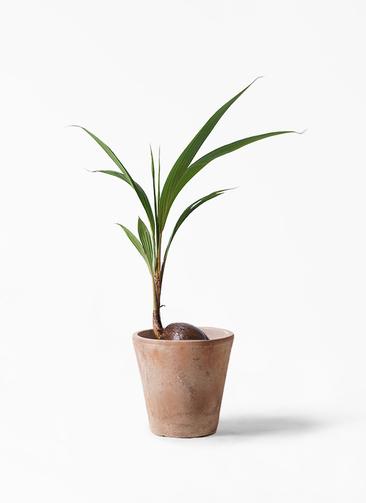 観葉植物 ココヤシ 7号 ルーガ アンティコ ソリッド 付き