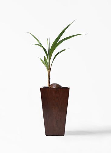 観葉植物 ココヤシ 7号 MOKU スクエア 付き