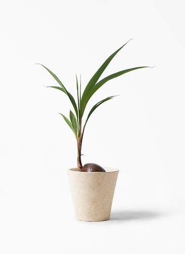 観葉植物 ココヤシ 7号 フォリオソリッド クリーム 付き