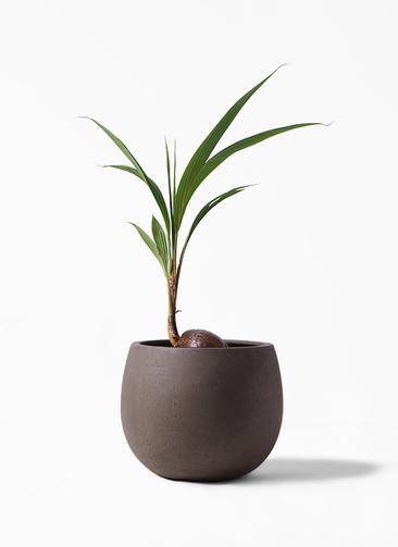 観葉植物 ココヤシ 7号 テラニアス ローバルーン アンティークブラウン 付き