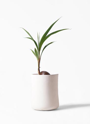 観葉植物 ココヤシ 7号 バスク ミドル ホワイト 付き