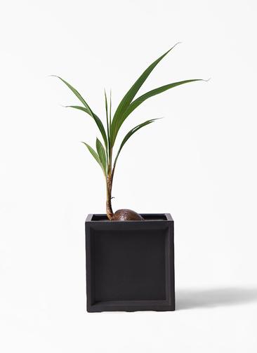 観葉植物 ココヤシ 7号 ブリティッシュキューブ 付き