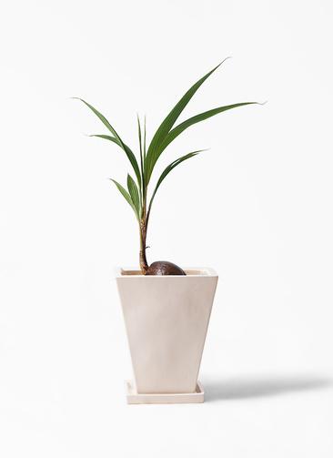 観葉植物 ココヤシ 7号 スクエアハット 白 付き