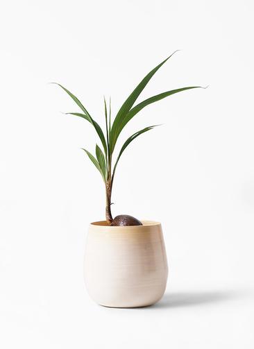 観葉植物 ココヤシ 7号 ササール 白 付き