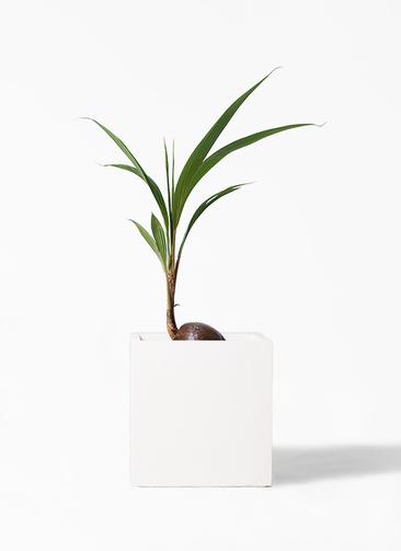 観葉植物 ココヤシ 7号 バスク キューブ 付き