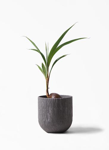 観葉植物 ココヤシ 7号 カルディナダークグレイ 付き