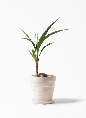 観葉植物 ココヤシ 7号 サバトリア 白 付き