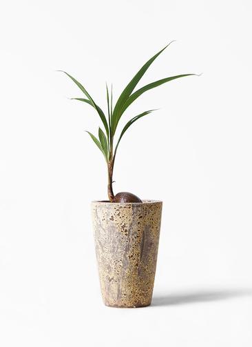 観葉植物 ココヤシ 7号 アトランティス クルーシブル 付き