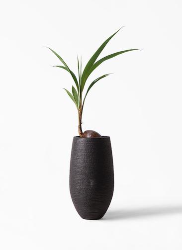 観葉植物 ココヤシ 7号 フォンティーヌトール 黒 付き