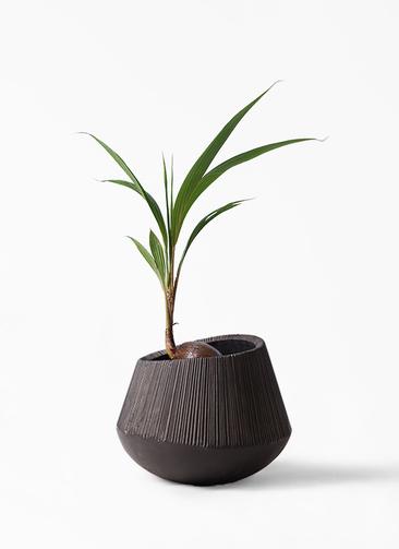 観葉植物 ココヤシ 7号 エディラウンド 黒 付き