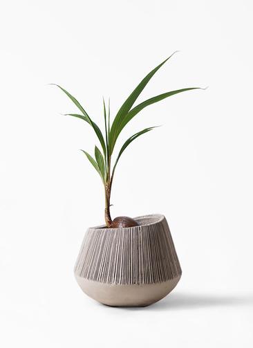 観葉植物 ココヤシ 7号 エディラウンド グレイ 付き
