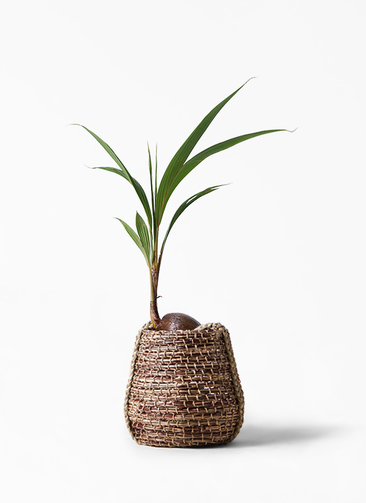 観葉植物 ココヤシ 7号 リゲル 茶 付き