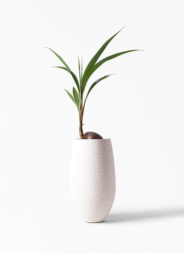 観葉植物 ココヤシ 7号 フォンティーヌトール 白 付き