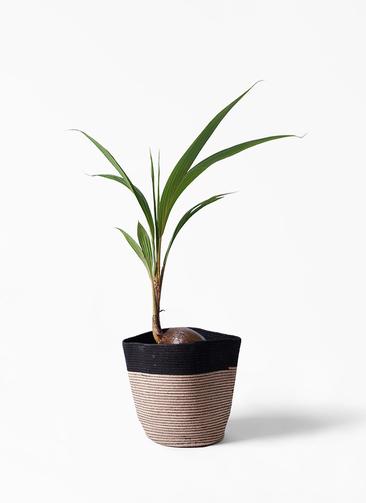 観葉植物 ココヤシ 7号 リブバスケットNatural and Black 付き