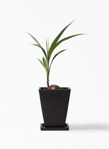観葉植物 ココヤシ 7号 パウダーストーン 黒 付き