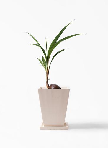 観葉植物 ココヤシ 7号 パウダーストーン 白 付き