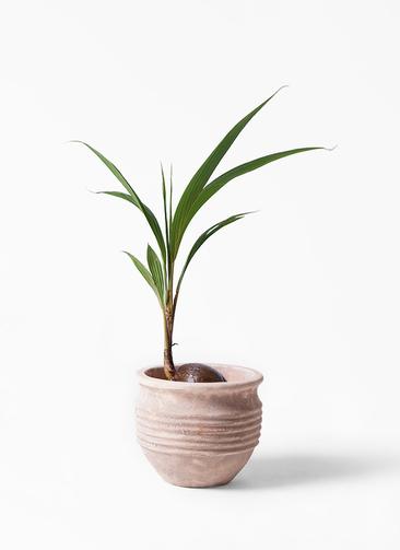 観葉植物 ココヤシ 7号 テラアストラ リゲル 赤茶色 付き