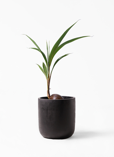 観葉植物 ココヤシ 7号 エルバ 黒 付き