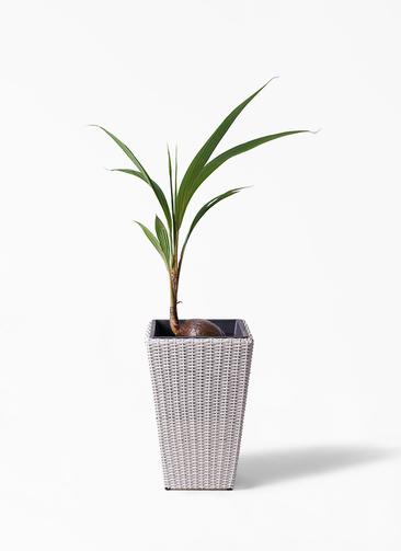 観葉植物 ココヤシ 7号 ウィッカーポット スクエアロング OT 白 付き