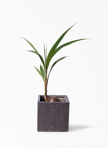 観葉植物 ココヤシ 7号 ベータ キューブプランター ウッド 茶 付き
