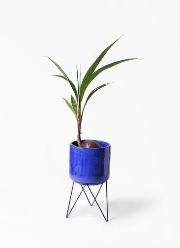 観葉植物 ココヤシ 7号 ビトロ エンデカ 鉢カバースタンド付 ブルー 付き